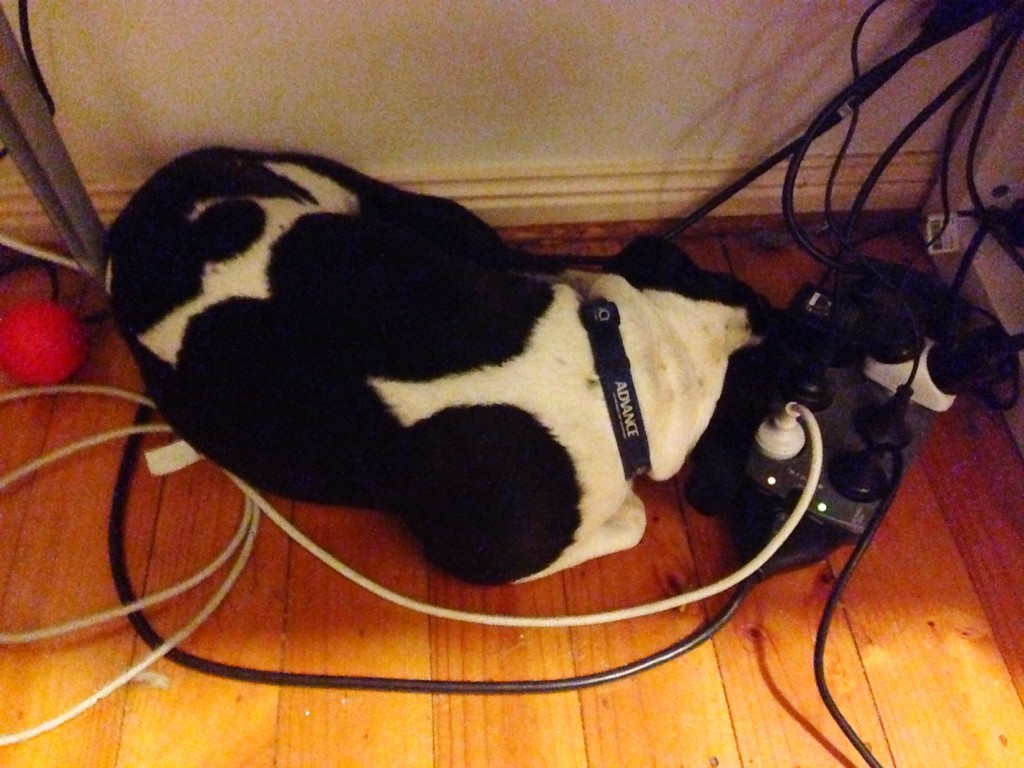 Indy, curled underneath my desk - January 21, 2014